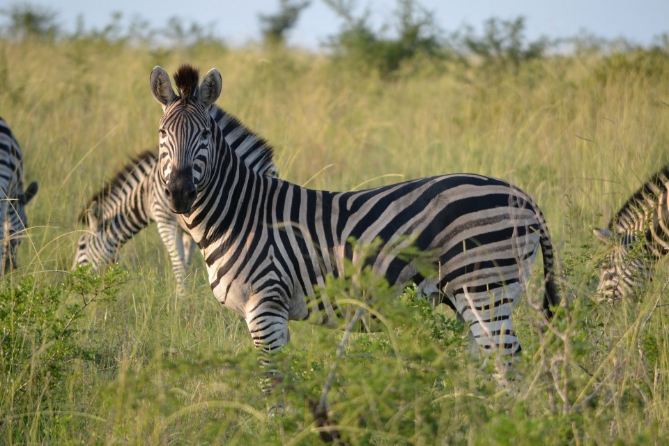 Zebra sighting  by joe-turco