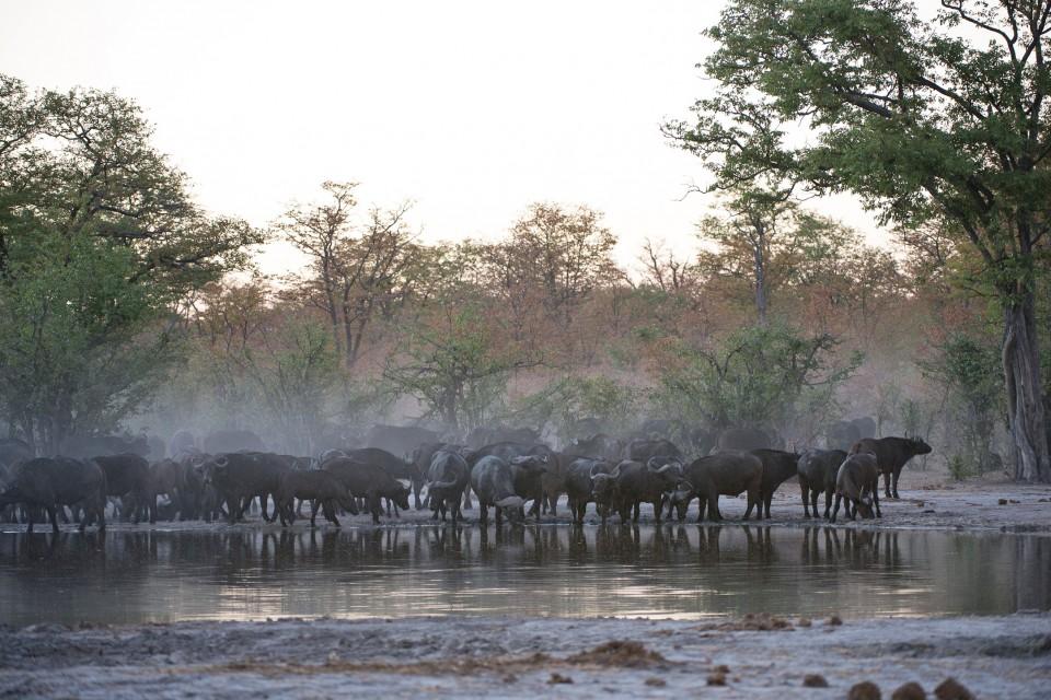 Khwai buffalo