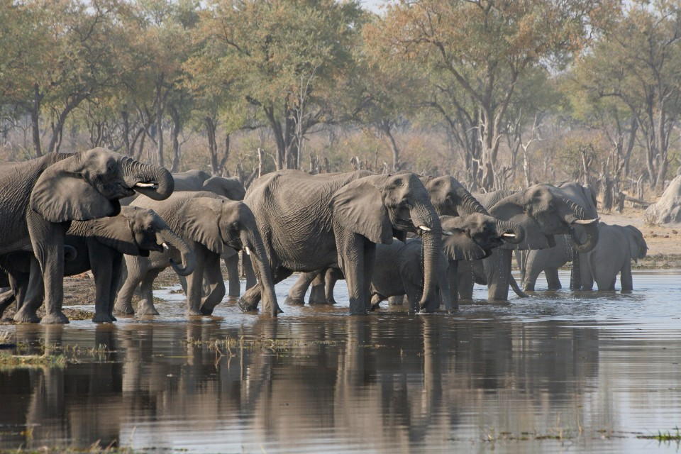 Moremi elephants