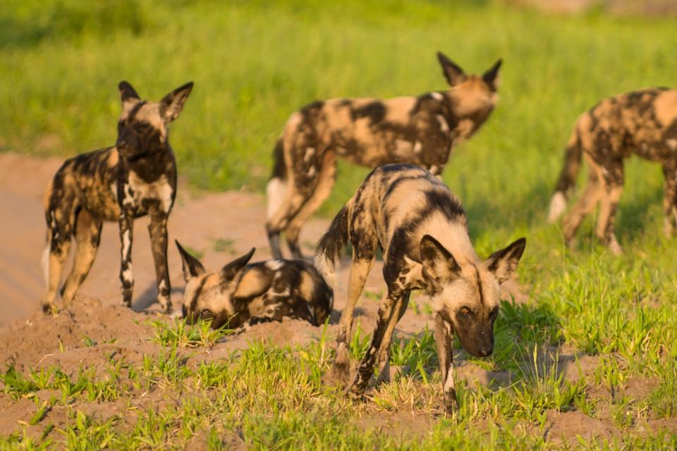 Savuti wild dogs