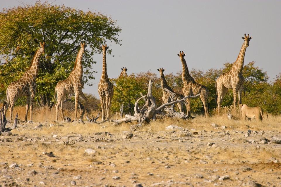 Etosha lion & giraffes