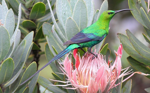 Malachite Sunbird in Marakele  by Derek Keats