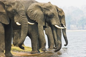 Chobe elephants by Njambi Ndiba