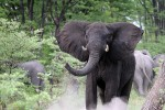 Elephants in chobe national park.gallery image.8-2