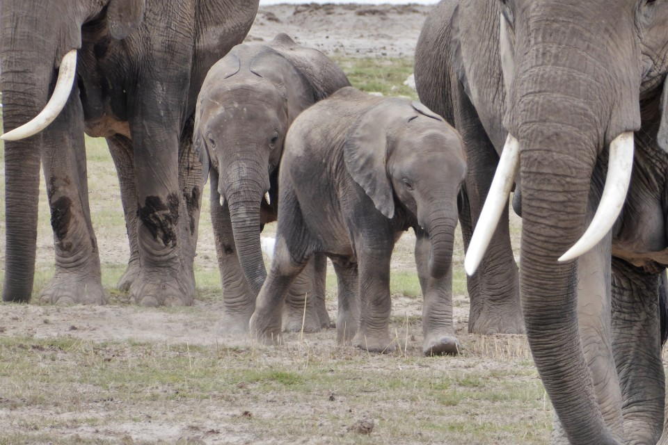 Amboseli elephants  by Regina Hart