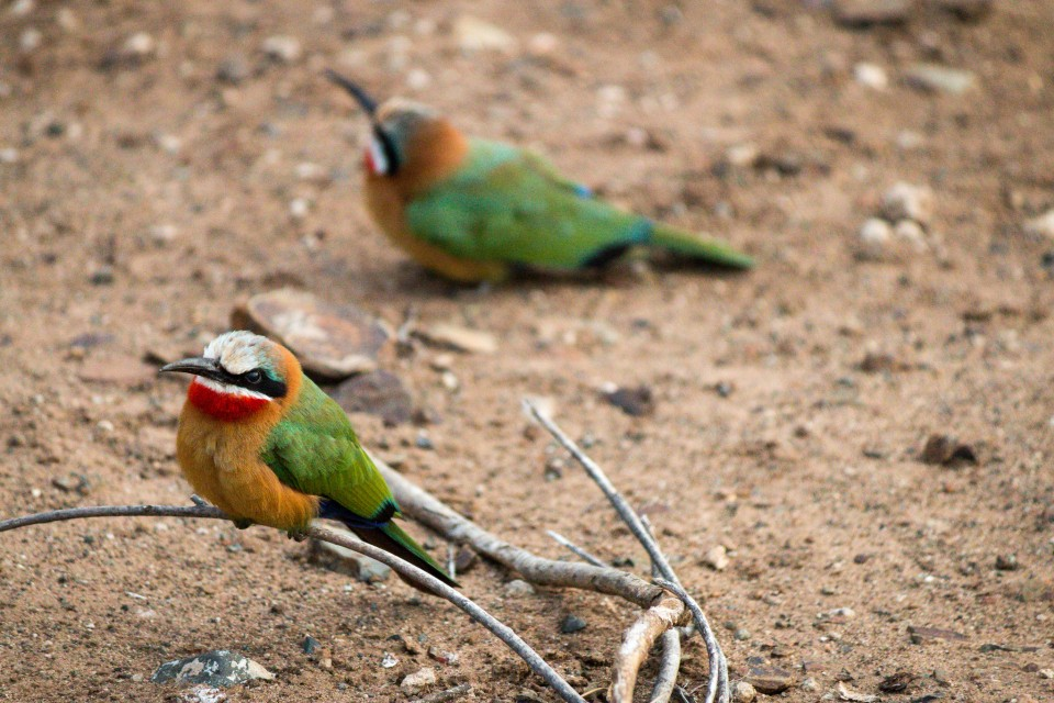 Bee-eaters  by Ryan Kilpatrick