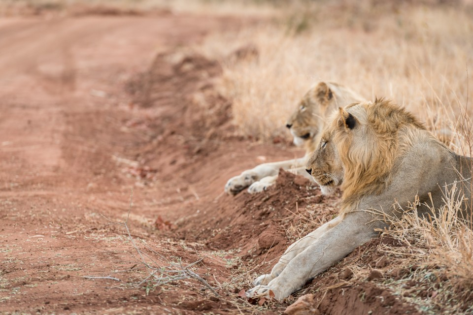 Greater Kruger lion