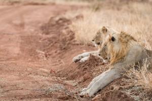 Greater Kruger lion