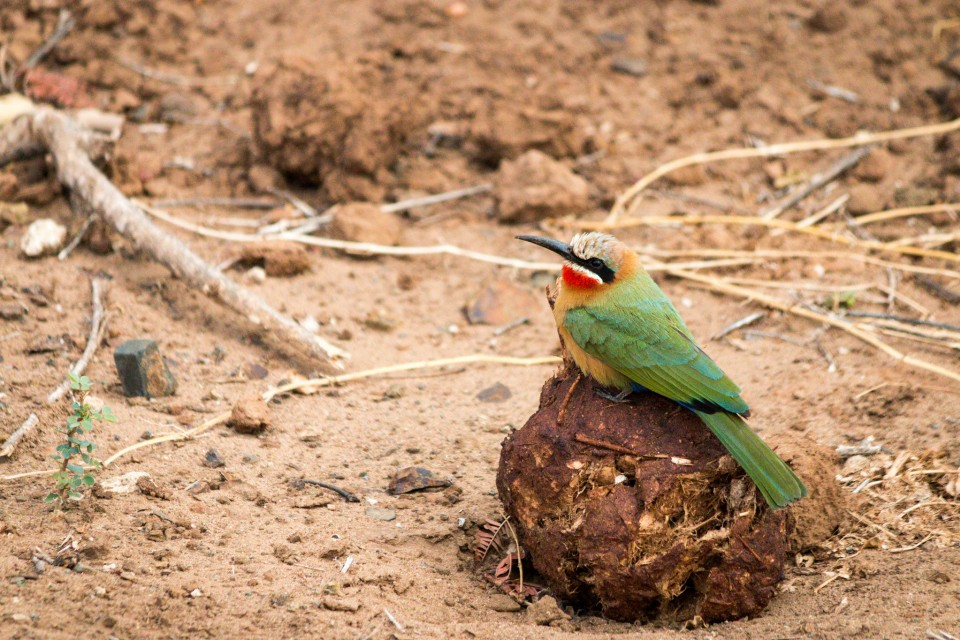 White-fronted bee-eater  by Ryan Kilpatrick