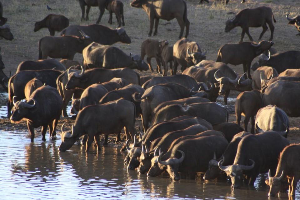 Kruger buffaloes  by Derek Keats