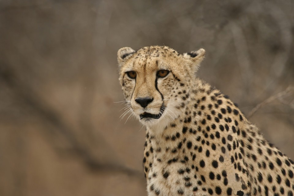 Greater Kruger cheetah  by Dirk Van de Velde