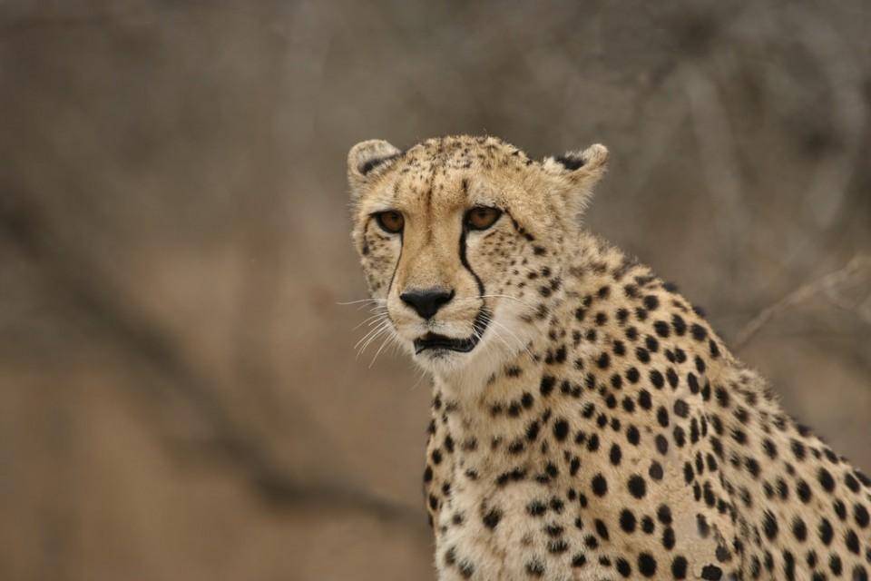 Greater Kruger cheetah  by Dirk Van de Velde