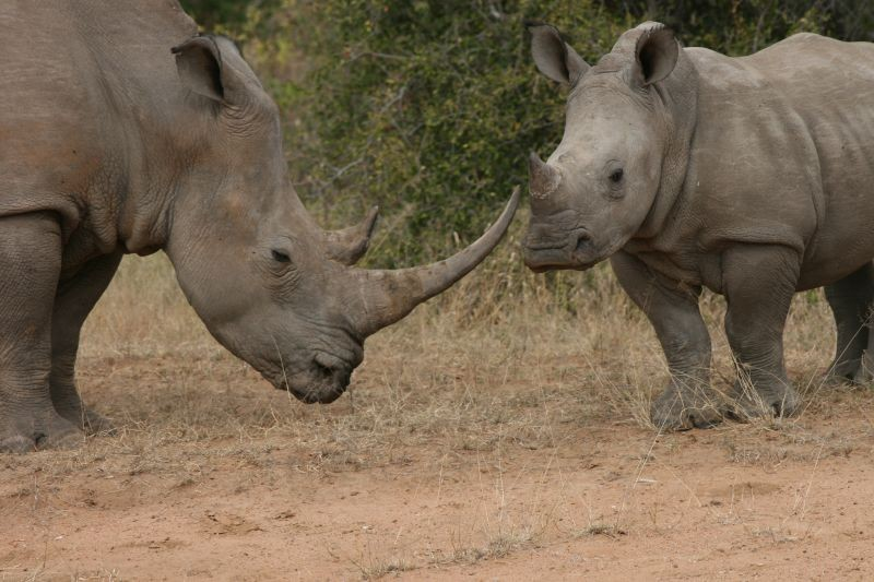 Tshukudu rhinos  by Paul Williams