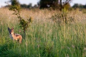 Black-backed jackal by Chris Eason