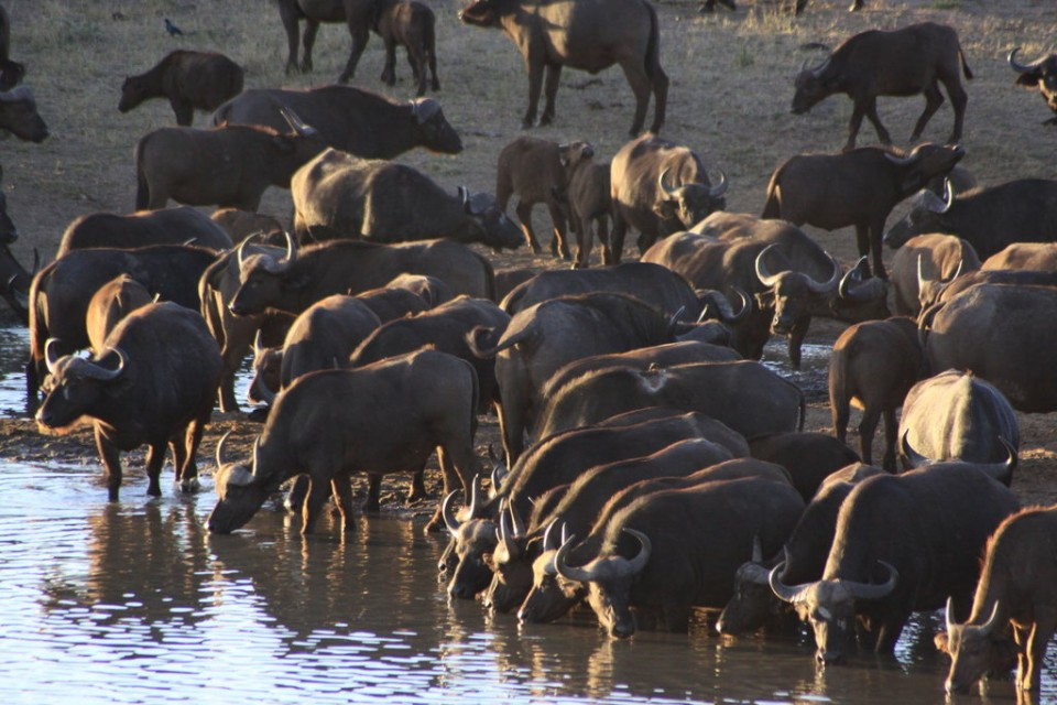 Kruger buffalos  by Derek Keats