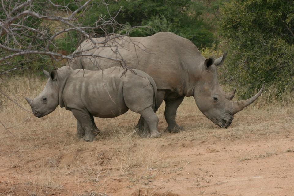 Tshukudu rhinos  by Paul Williams
