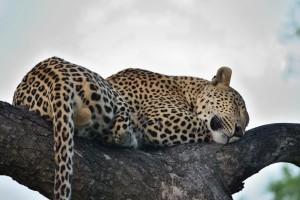 Kruger leopard by Joe Turco