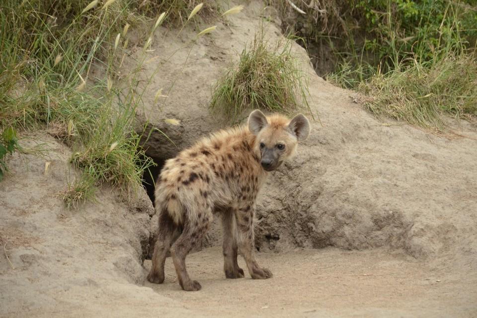 Kruger hyena  by Joe Turco