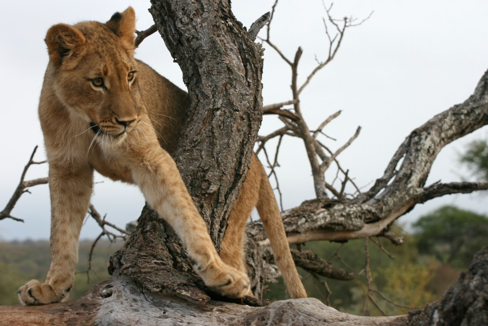 Lion cub  by Paul Williams