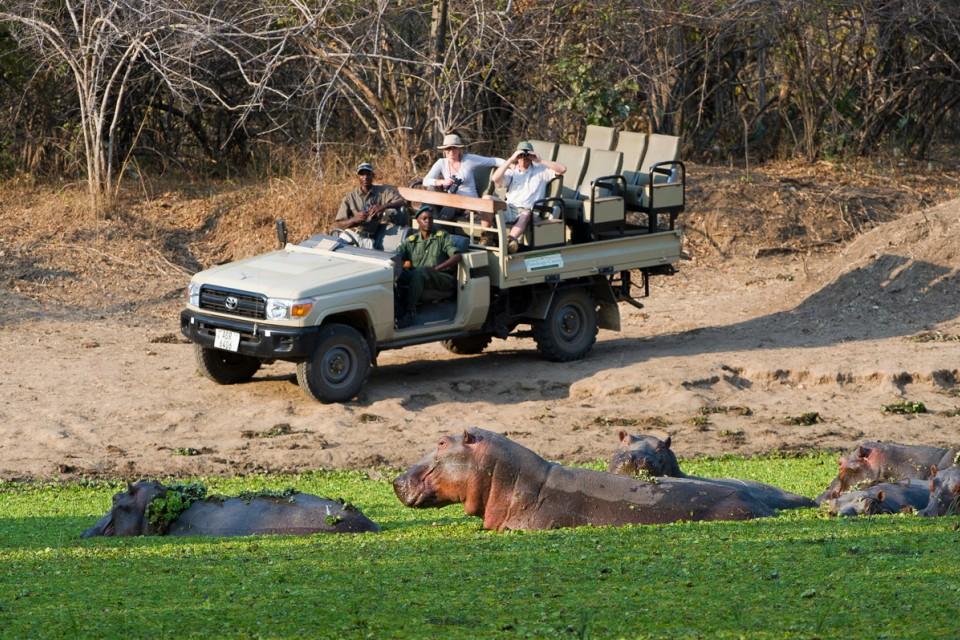 Luangwa River hippos