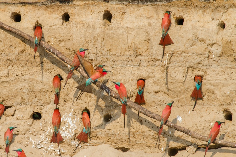 Carmine bee-eaters  by Richard Toller