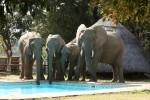 Elephants drinking from pool
