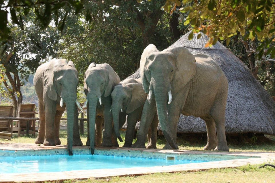 Elephants at pool