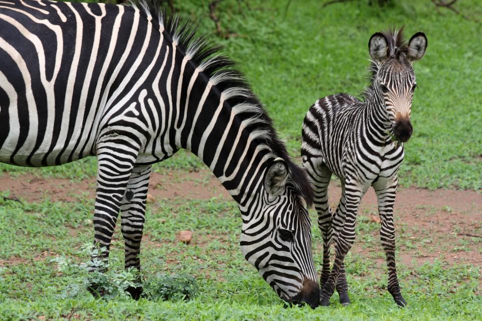 Luangwa zebras  by yeowatzup