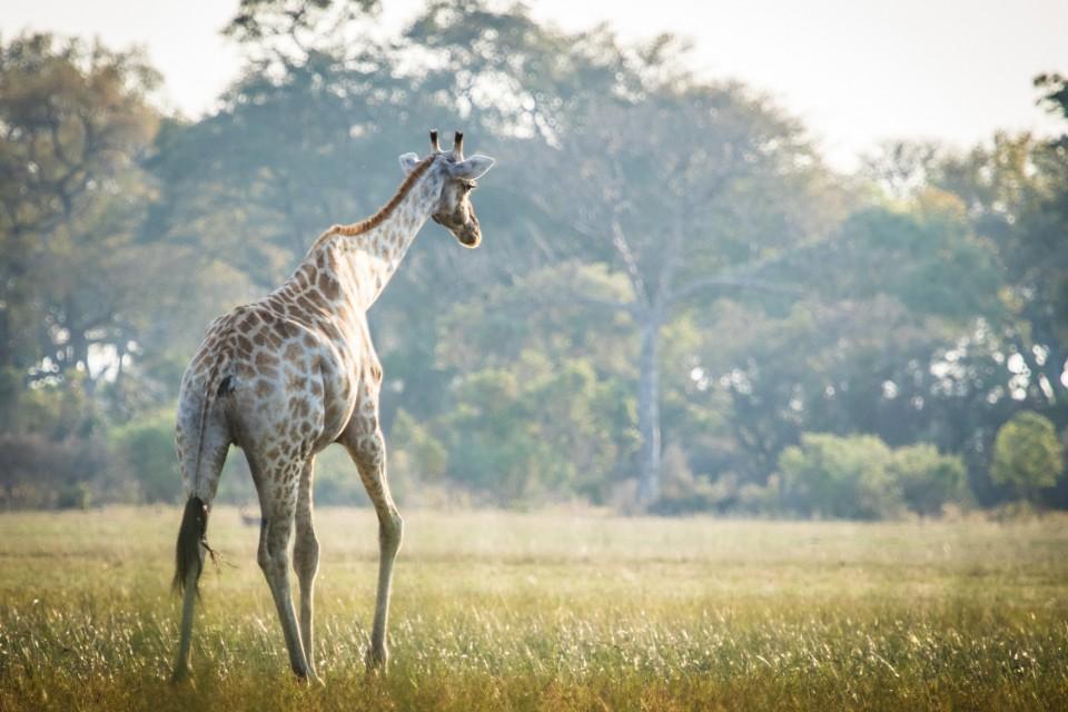 Moremi giraffe