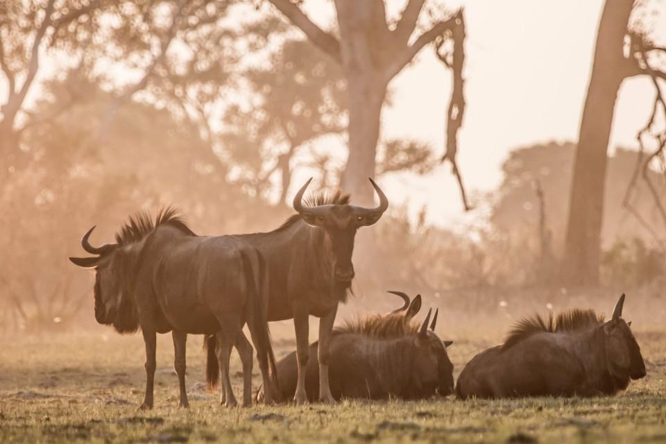 Moremi buffalo