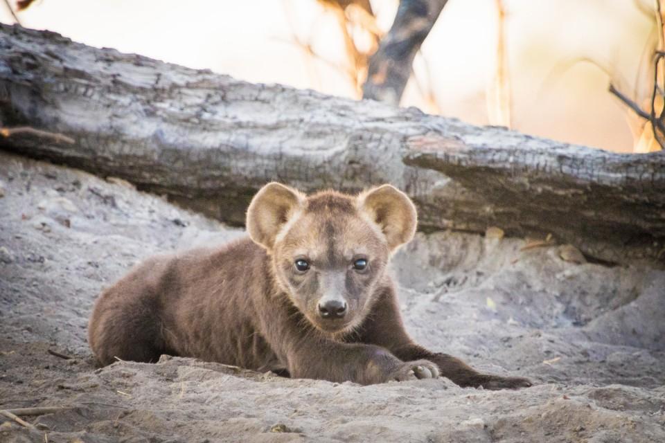 Moremi hyena