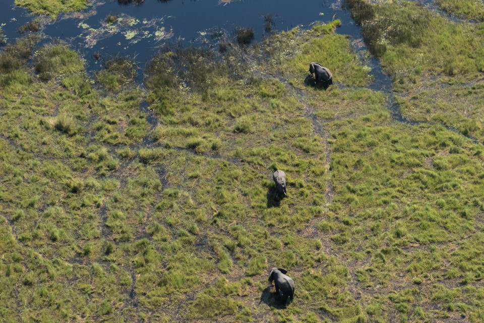 Delta elephants aerial view