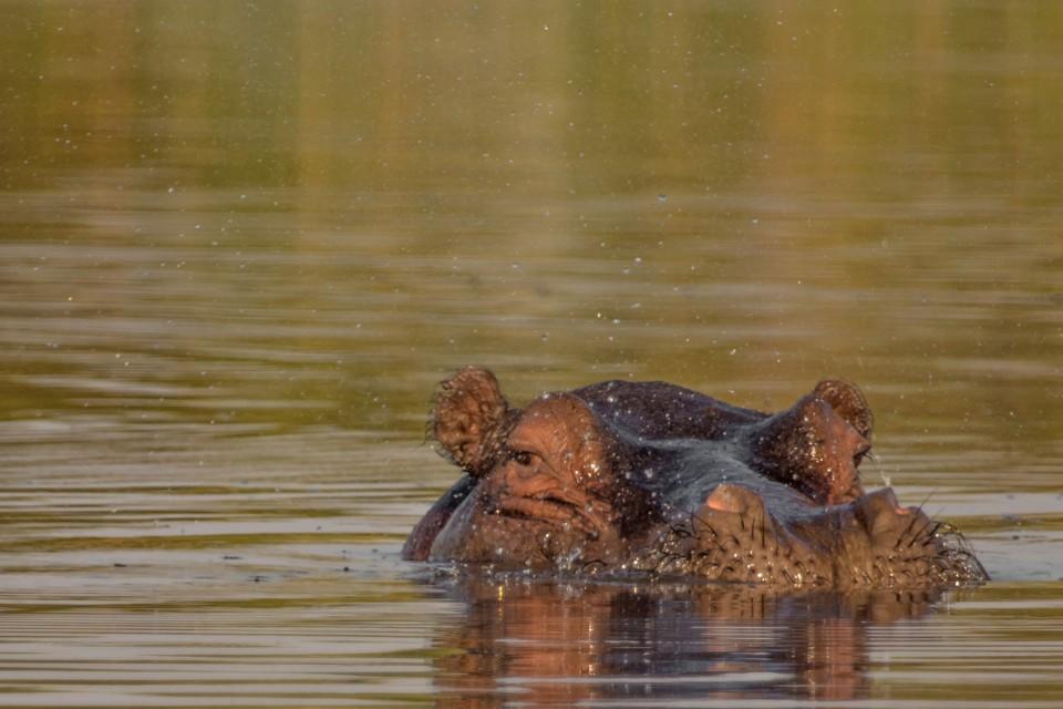 Moremi hippo