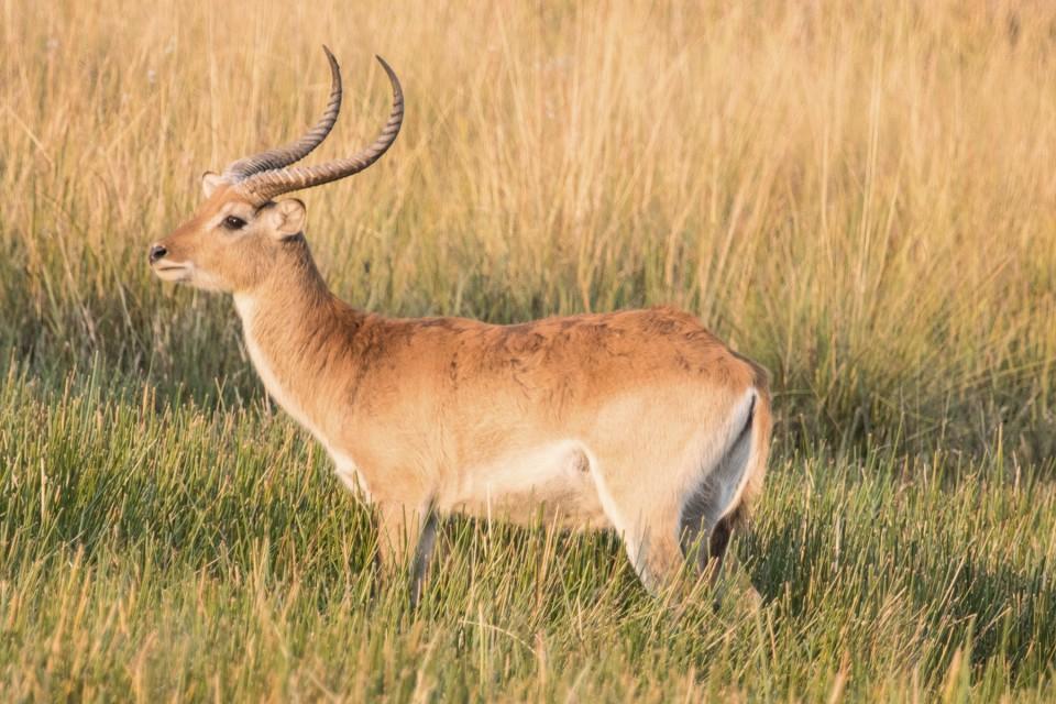 Moremi antelope