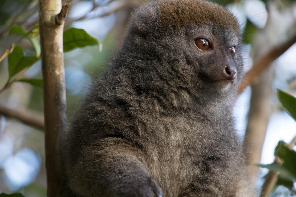Fluffy lemur  by Daniel De Lapelin Dumont