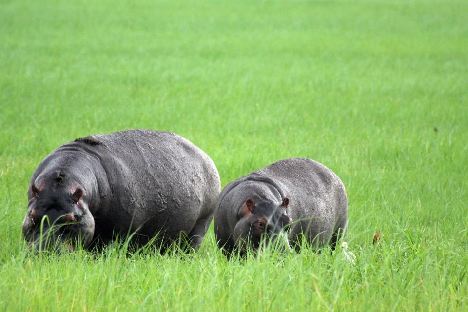 Chobe hippos   by yeowatzup