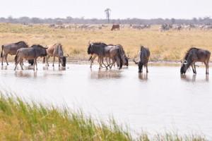 Makgadikgadi wildebeest by abi.bhattachan