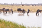 Makgadikgadi wildebeest
