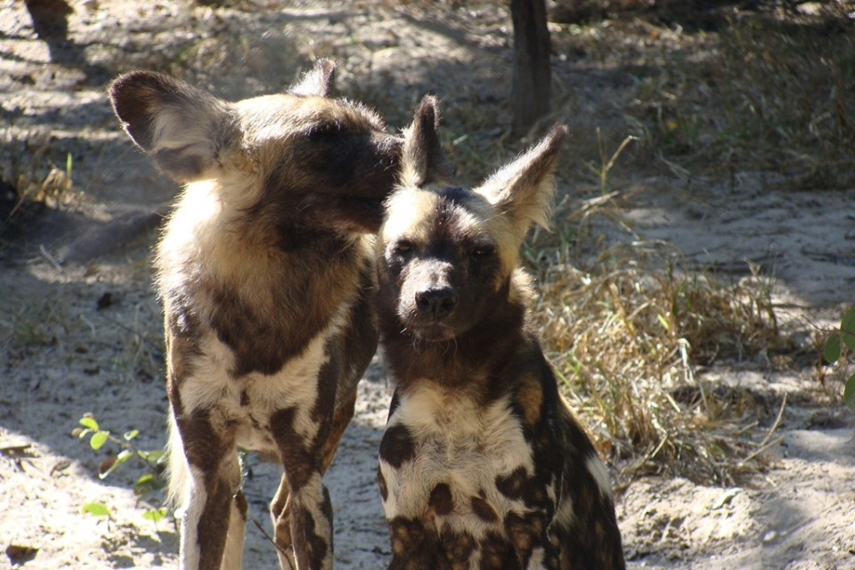 Hwange wild dogs