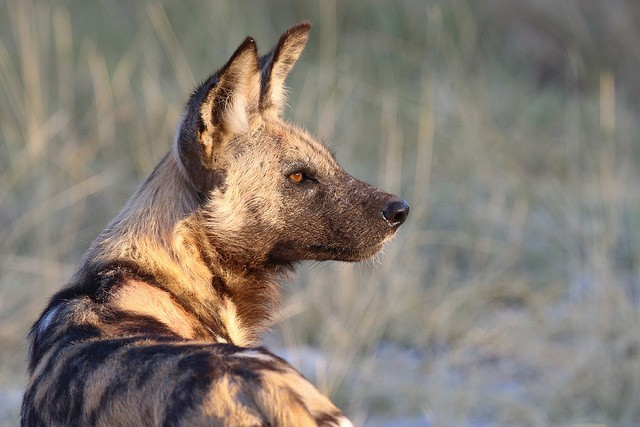 Moremi wild dog  by Chris Parker