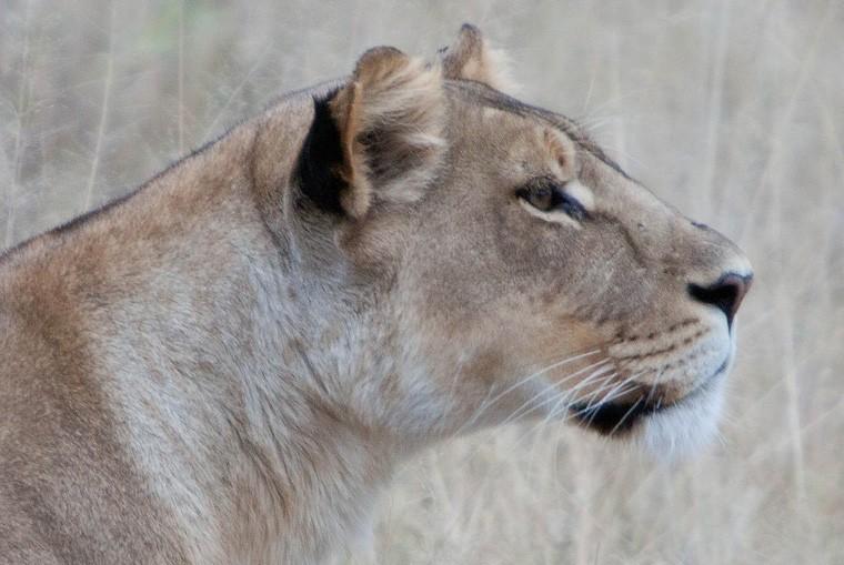 Khwai lion sighting