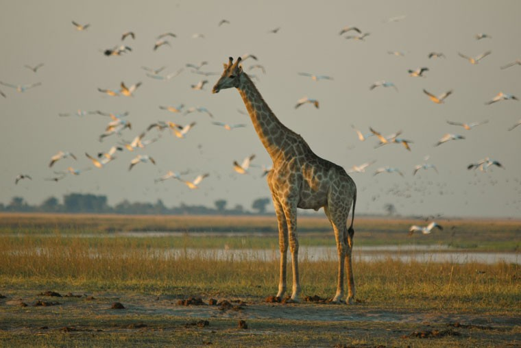 Botswana chobe giraffe bruce taylor 20111025 1485745092