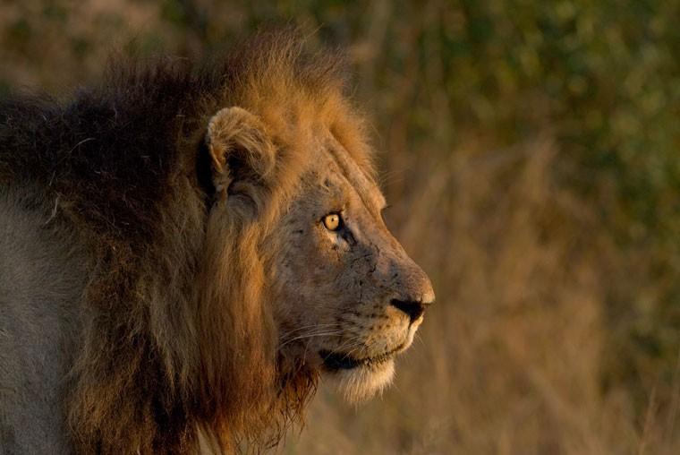South africa kruger lion rob lewis 20111024 1135279669