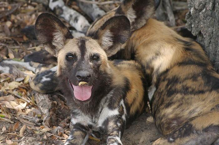 Zimbabwe hwange wilddog thomas josef