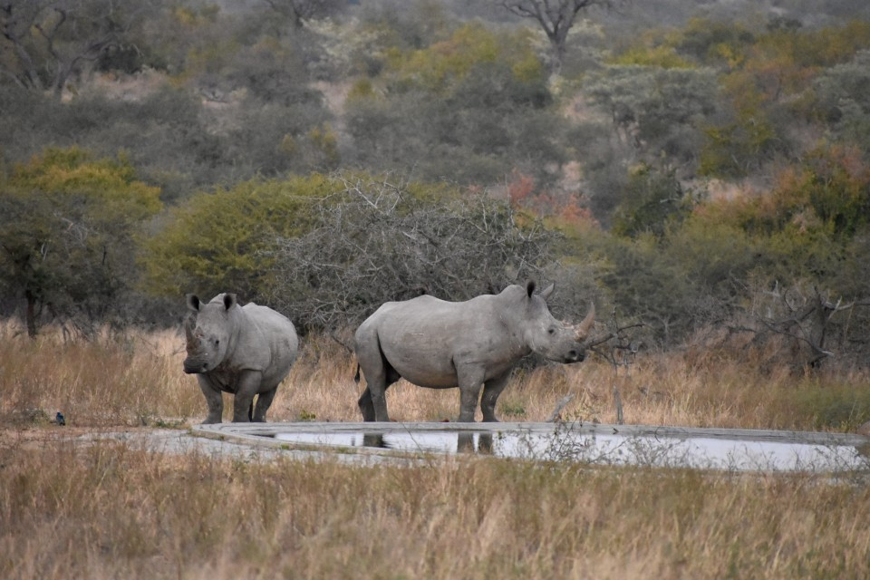 Kruger rhinos  by Jen