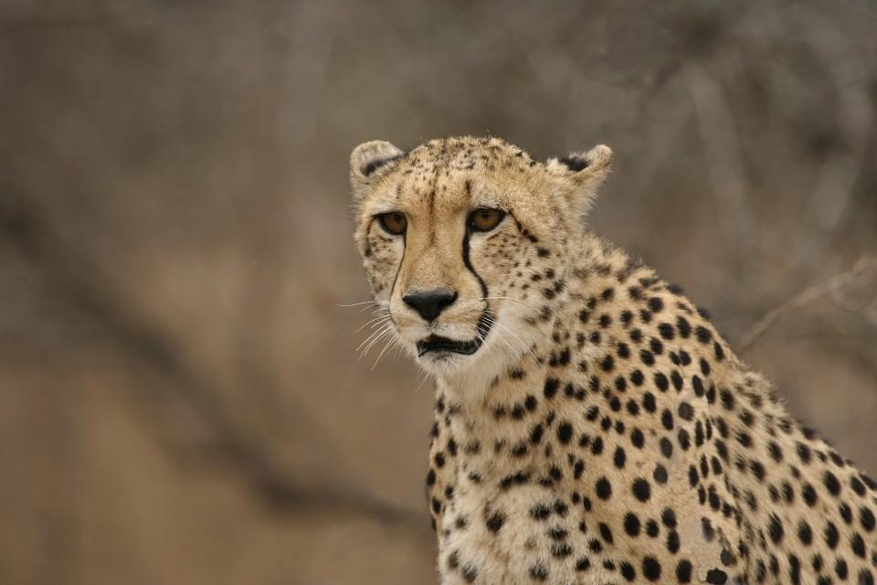 Kruger cheetah  by Dirk Van de Velde