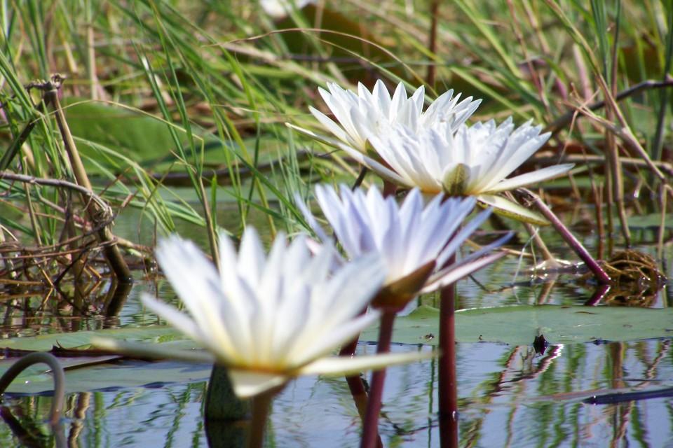 Okavango Delta flora