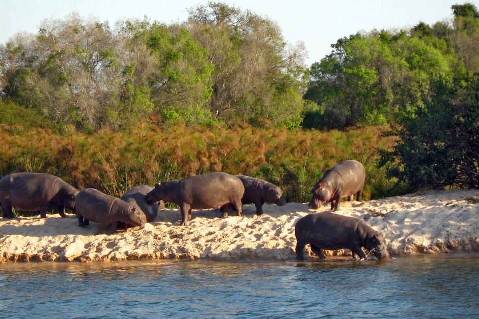 Chobe rivercruise hippo botswana 1200x800