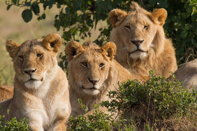 Mara lion family