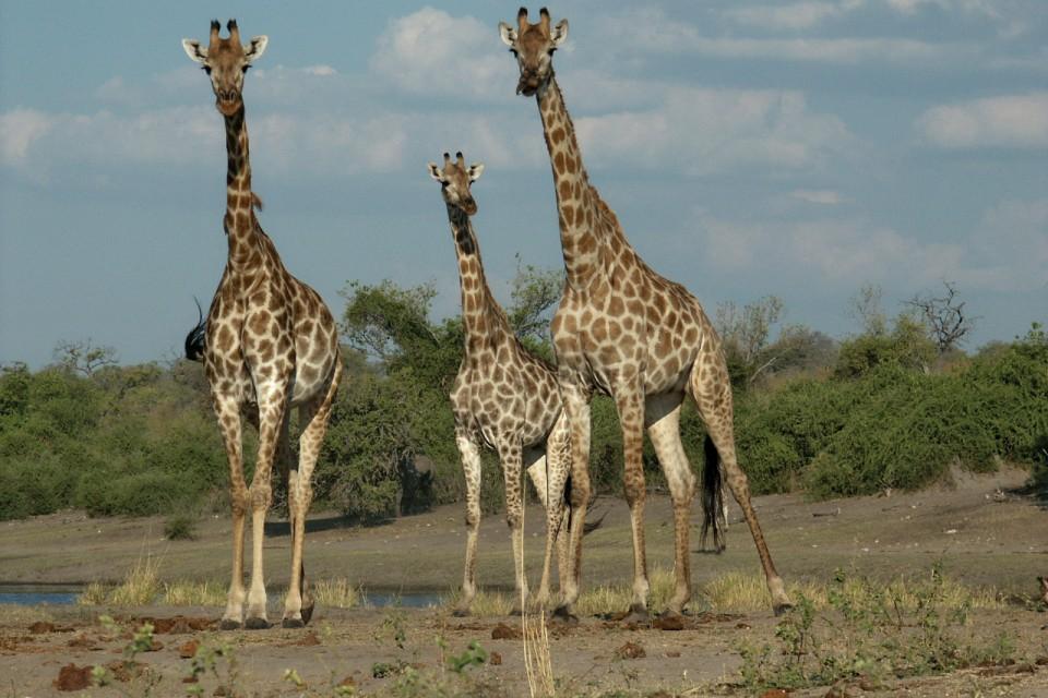 Ani giraffe chobe
